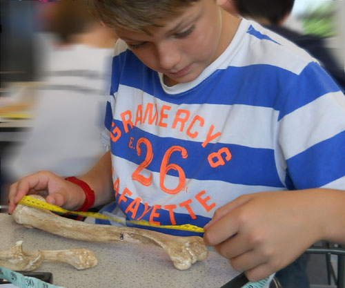 A student measures a human bone in the school transition day called Body in the Box - from Thinkers in Education